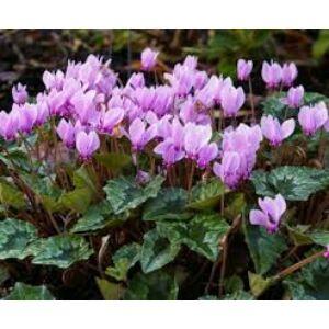 Cyclamen hederifolium - Borostyánlevelű ciklámen