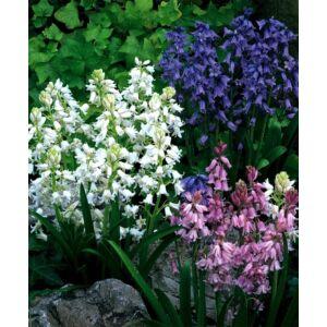 Hyacinthoides hispanica színkeverék - Spanyol kékharang