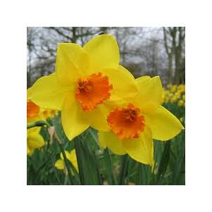 Narcissus 'Jetfire' -  Nárcisz