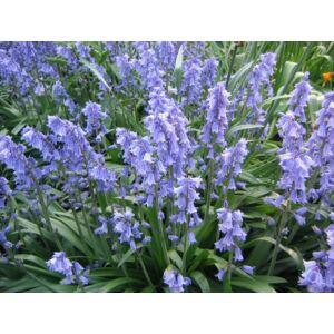 Hyacinthoides hispanica 'Blue' -  Spanyol kékharang