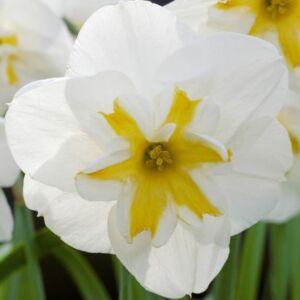 Narcissus 'Lemon Beauty'-  Hasadt koronájú nárcisz