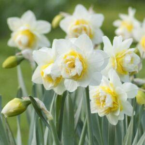 Narcissus 'White Lion'-  Teltvirágú nárcisz