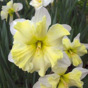 Narcissus 'Cassata'-  Hasadt koronájú nárcisz