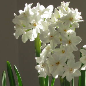 Narcissus tazetta 'Paperwhite' -  Nárcisz