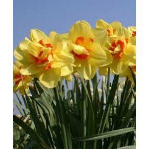 Narcissus 'Tahiti'-  Teltvirágú nárcisz