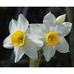 Narcissus tazetta 'Geranium' -  Nárcisz