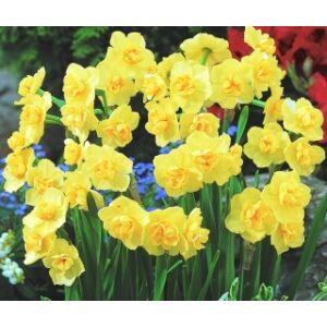 Narcissus 'Yellow Cheerfulness'-  Teltvirágú nárcisz
