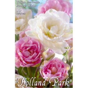 Tulipán Duo- Teltvirágú rózsaszín és fehér tulipán