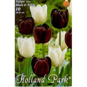 Tulipán Duo- Fehér és fekete tulipán