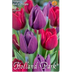 Tulipán Duo- Piros és lila tulipán