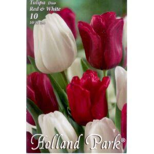 Tulipán Duo- Piros és fehér tulipán