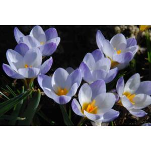 Crocus chrysantus 'Blue Pearl' - Korai krókusz