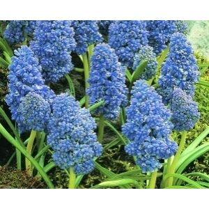 Muscari armeniacum 'Blue Spike'- Teltvirágú gyöngyike