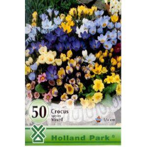 Botanikai krókusz színkeverék nagy kiszerelés (50)