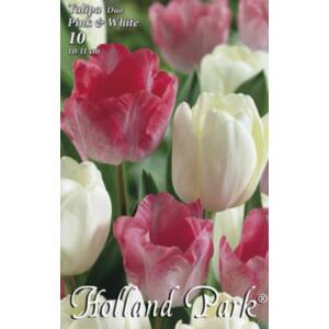 Tulipán Duo- Rózsaszín és fehér tulipán