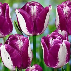Triumph-típusú tulipán 'Hotpants'
