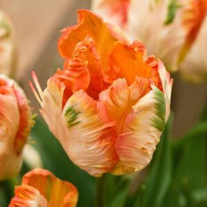 Papagájvirágú tulipán 'Apricot Parrot'
