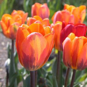Triumph-típusú tulipán 'Princess Irene'