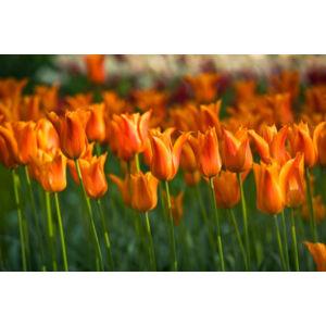 Liliomvirágú tulipán 'Ballerina'