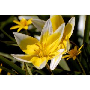 Tulipa tarda - Kétszínű tulipán