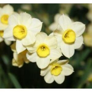 Narcissus 'Minnow' -  Nárcisz