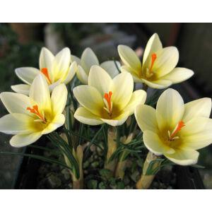 Crocus chrysantus 'Cream Beauty' - Korai krókusz