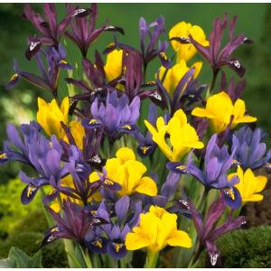 Iris reticulata - Sziklakerti írisz (színkeverék)