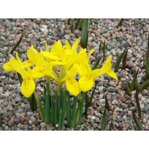 Iris danfordiae - Török írisz (sárga)