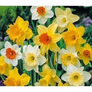 Nagyvirágú koronás nárcisz színkeverék