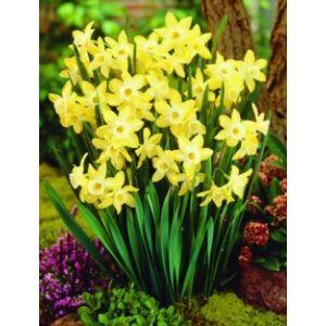 Narcissus 'Pipit' -  Nárcisz