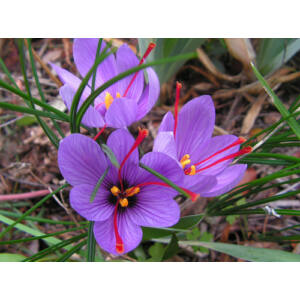 Crocus sativus - Valódi sáfrány