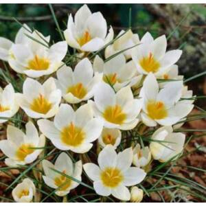 Crocus chrysantus 'Snowbunting' - Korai krókusz