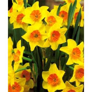 Narcissus 'Suzy' -  Nárcisz