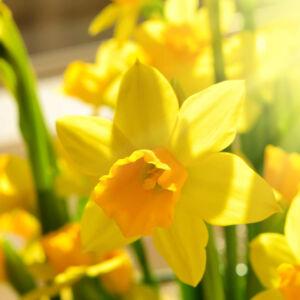 Narcissus 'Tete a tete' -  Nárcisz