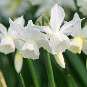 Narcissus 'Thalia' -  Nárcisz