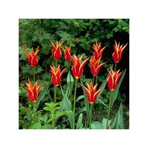 Liliomvirágú tulipán 'Aladdin'