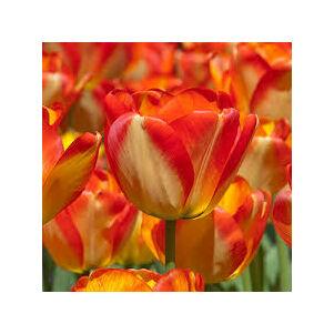 Darwin-hybrid tulipán 'American Dream'