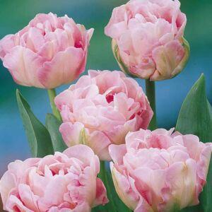Teltvirágú tulipán 'Angelique'