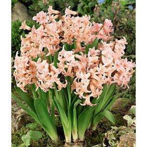 Hyacinthus Multiflowered Pink - Csokros jácint