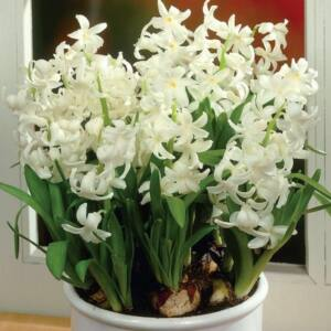 Hyacinthus Multiflowered White - Csokros jácint