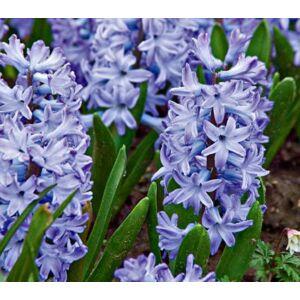 Hyacinthus Multiflowered Blue - Csokros jácint