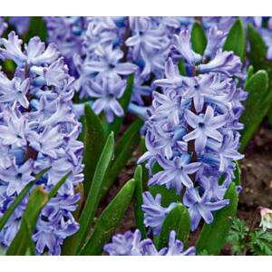Hyacinthus Multiflowered Blue - Csokros jácint