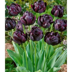 Teltvirágú tulipán 'Black Hero'