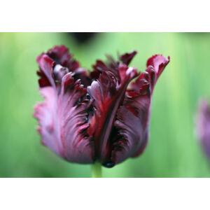 Papagájvirágú tulipán 'Black Parrot'