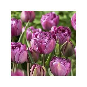 Teltvirágú tulipán 'Blue Diamond'
