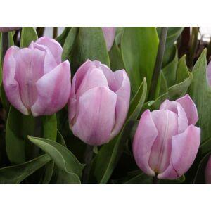 Tulipa 'Candy Prince' - Egyszerű virágú tulipán