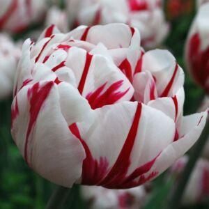 Teltvirágú tulipán 'Carneval de Nice'