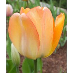 Darwin-hybrid tulipán 'Daydream'