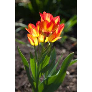 Tulipa 'Florette' - Csokros tulipán