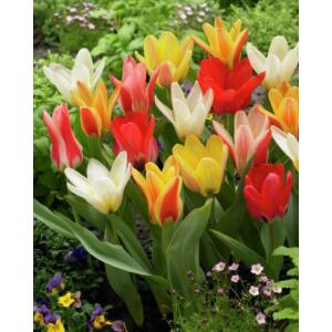 Fosteriana tulipán színkeverék